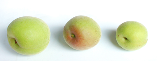 梅の大きさ